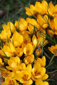 1155663_crocus_at_springtime_4