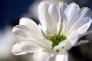 1158695_daisy_1